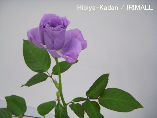 2011年 Blue Rose 59 (MAR 2011)